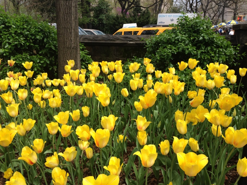 Yellow Tulips in Central Park